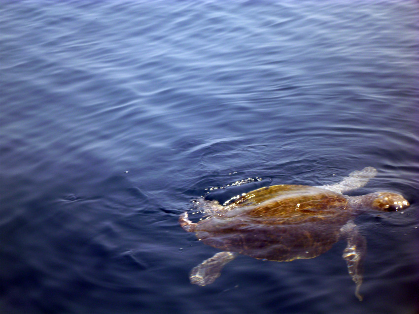 Sea Turtles in the Tehuantapec