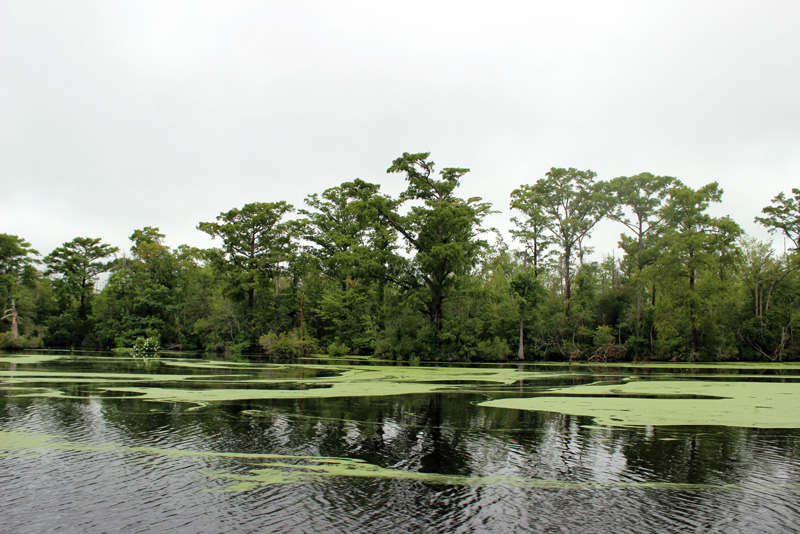 The Great Dismal Swamp Scenery Cloudy