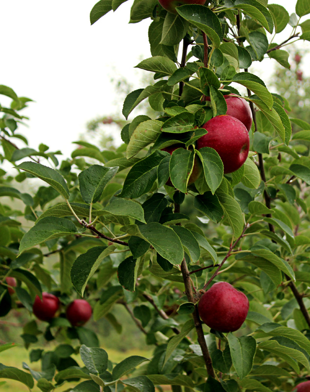 Apple picking - red shiners