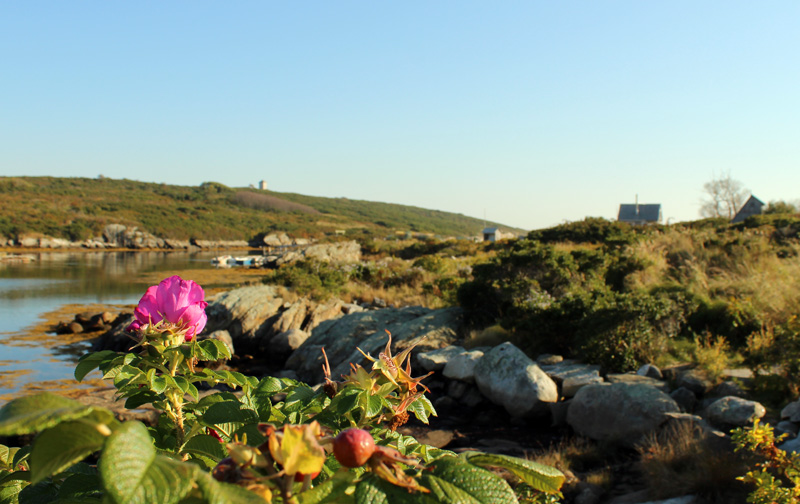 Roses on Damariscove Island